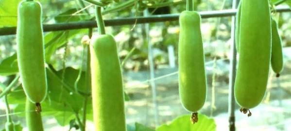 bottle-gourd-cultivation-599x330